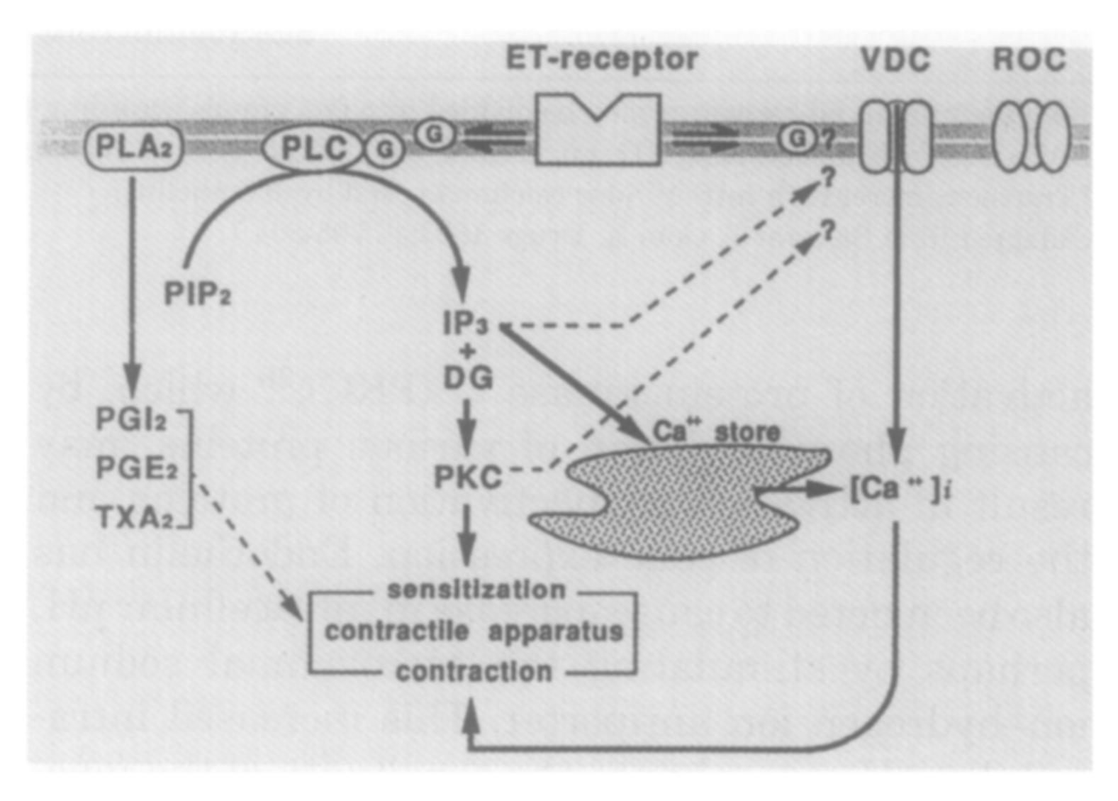 Calmodulin Leaders In Pharmaceutical Business Intelligence Lpbi Schematic Of A Crude Ecg Circuit Intracellular Signal Transduction Pathways Activated By Endothelins Ets