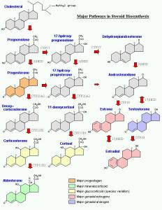 major pathways of steroid synthesis
