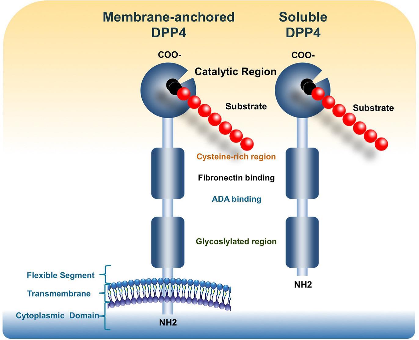 Membrane-bound DPP4