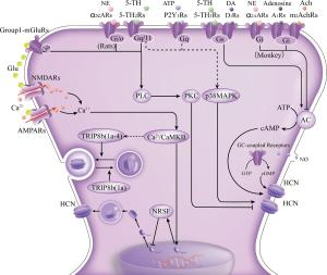 modulation of HCN channels by neurotransmitters and associated intracellular signal pathways