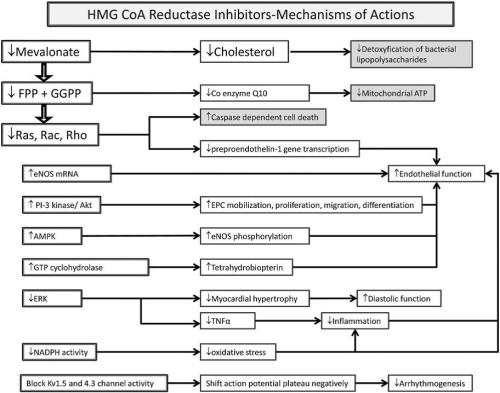 multiplicity of HMG CoA reductase inhibitors mechanisms and their effects