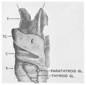 Owea's drawing of parathyroid gland of Indian rhinoceros