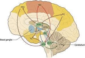 Schematic of the bidirectional connectivity between the cerebellum and other