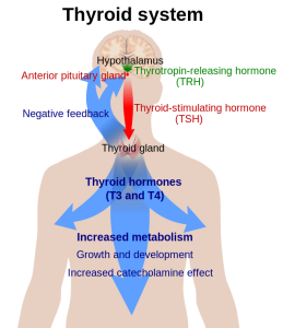 Short overview of thyroid homeostasis