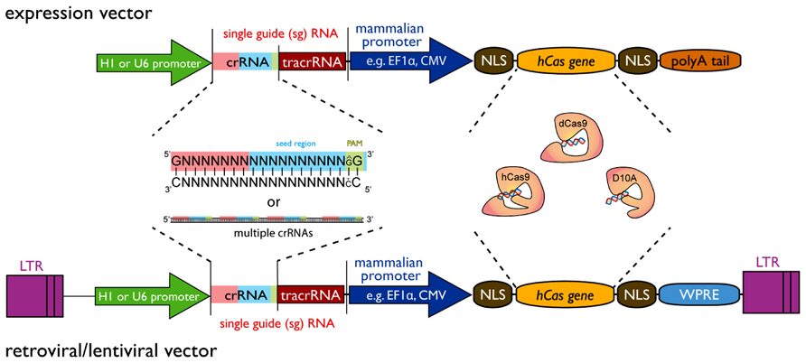 Crispr Cas9 Contributions On Endoribonuclease Structure