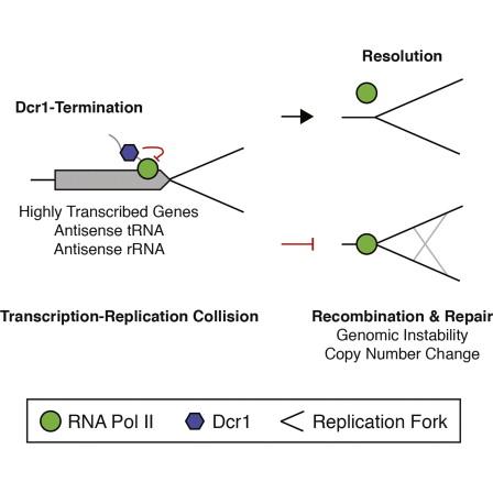 Dicer Promotes Transcription Termination