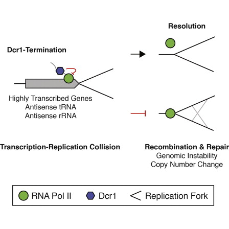Dicer Promotes Transcription Termination
