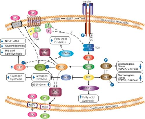 Interrelationship between sphingosine 1-phosphate receptor 2 and the insulin signaling pathway
