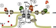 mitochondrial stabilization gr1