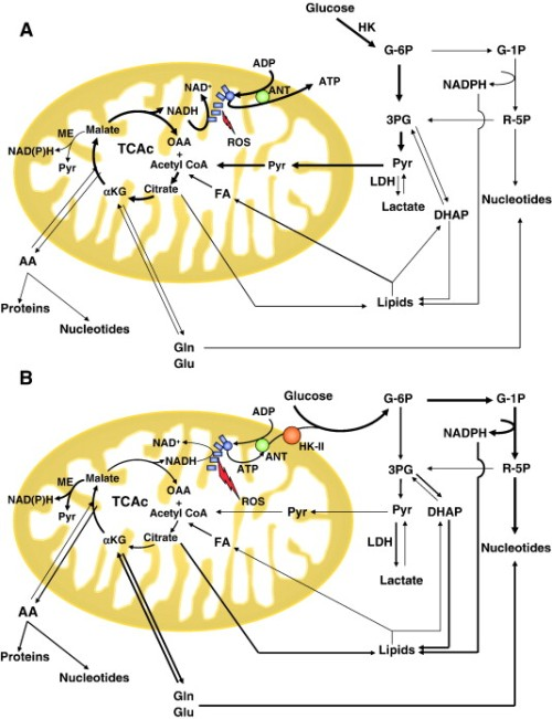 Schematic illustration of mitochondrial metabolism and metabolic reprogramming in tumours gr1