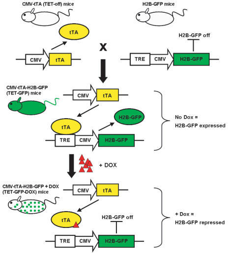 schematic-representation-of-transgenic-mouse-breeding-scheme-h2b-gfp-mice-should-not-express-gfp-in-the-absence-of-a-tetracycline-regulatable-transactivator