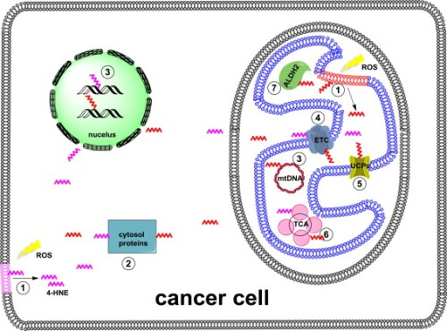 Role of 4-hydroxynonenal in cancer focusing on mitochondria