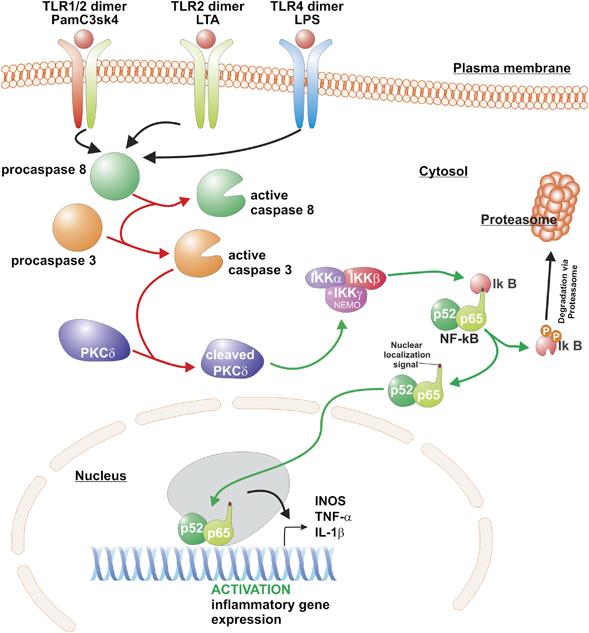 apoptotic-caspases-control-microglia-activation-cdd2011107f3