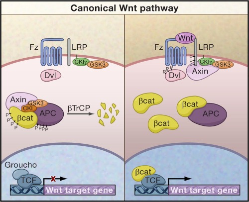 canonical-wnt-signaling