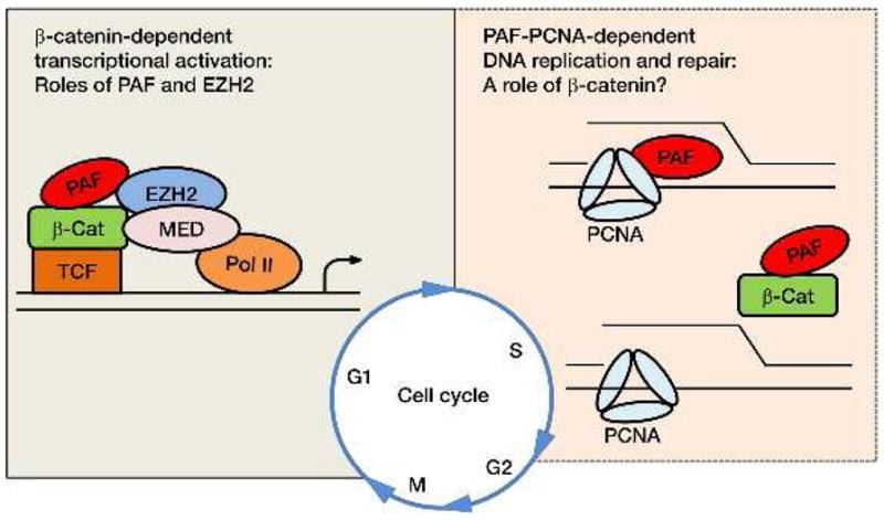 ceb2-catenin-transactivation-nihms532034f1