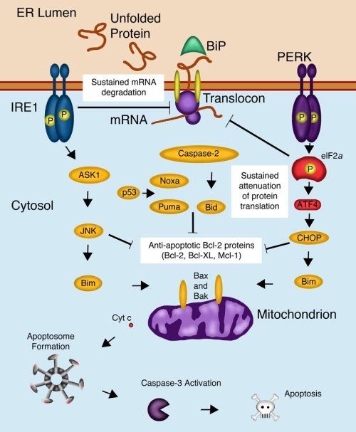 Connections from the UPR to the Mitochondrial Apoptotic Pathway