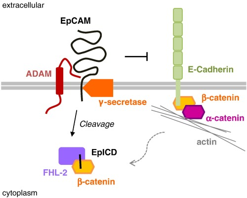 EpCAM signaling in cross-talk with E-Cadherin.