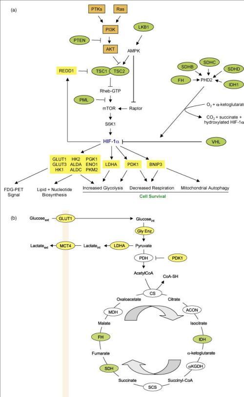HIF-1 and metabolism  nihms156580f1