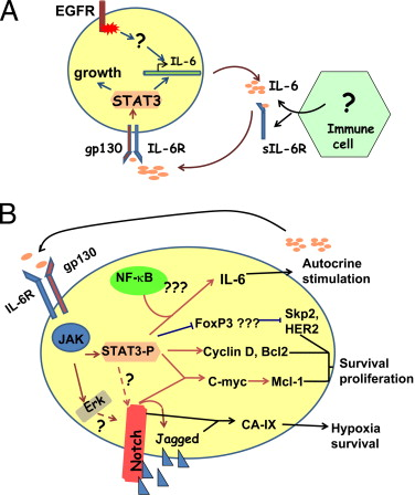 Il-6 signaling in cancer cells