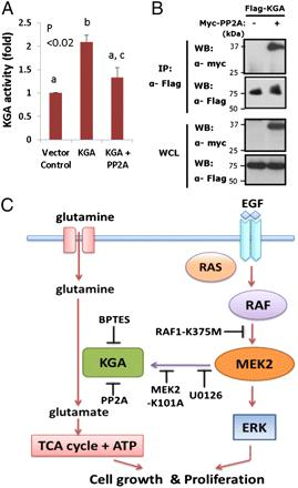 KGA activity is regulated by phosphorylation