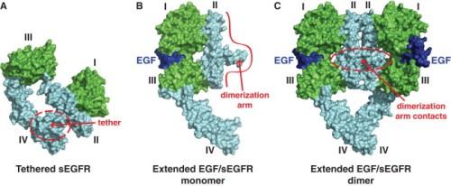 ligand-induced-dimerization-of-the-hegfr-ecr