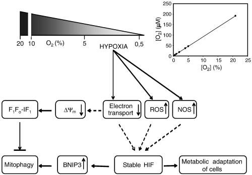 Major mitochondrial changes in hypoxia