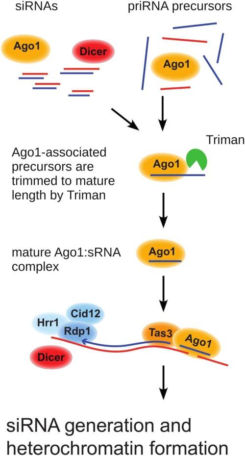 Model of priRNA Biogenesis and RNAi Nucleation