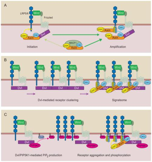Models of Wnt receptor activation nihms196288f5