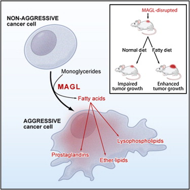 monoacylglycerol-lipase-magl-is-highly-expressed-in-aggressive-human-cancer-cells-and-primary-tumors