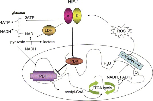 multiple-hypoxia-induced-cellular-metabolic-changes-are-regulated-by-hif-1