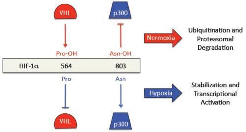 Negative regulation of HIF-1 activity by oxygen nihms232046f2