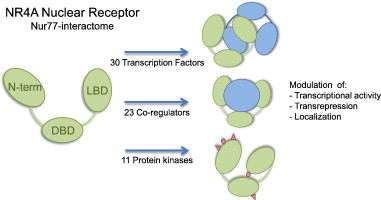 NR4A subfamily of nuclear receptors