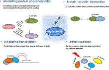 O-GlcNAcylated proteins influence protein phosphorylation and protein-protein interactions