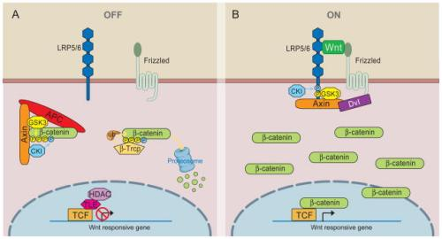 Overview of Wnt.β-catenin signaling nihms196288f1