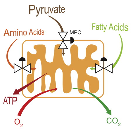 oxidation-of-fatty-acids-and-amino-acid