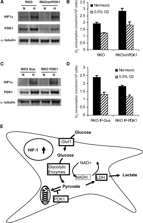 pdk1-expression-directly-regulates-cellular-oxygen-consumption-rate