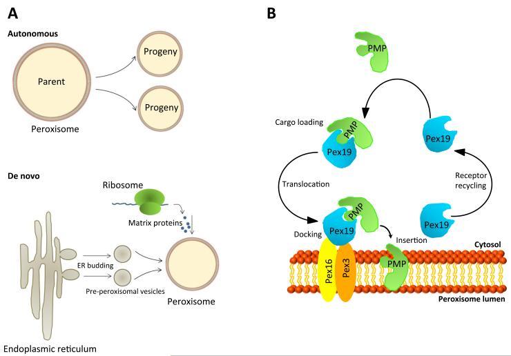 peroxisomal biogenesis and protein import