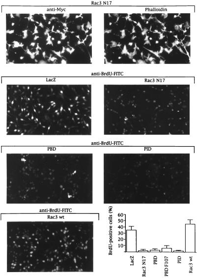 Rac3 mediates proliferation in MDA-MB 435 cells  pq0104939005