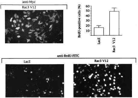 Rac3V12 induces DNA synthesis in human mammary epithelial cells pq0104939003