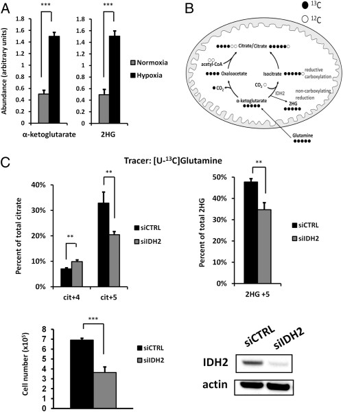 Reductive carboxylation of glutamine-derived α-ketoglutarate to citrate in hypoxic cancer cells is dependent on mitochondrial IDH2