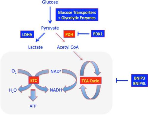 Regulation of Glucose Metabolism nihms-350382-f0001