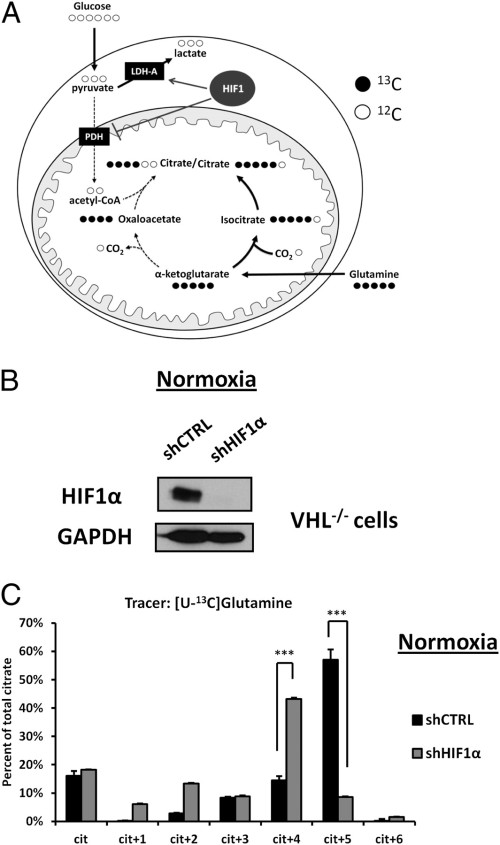 Reprogramming of metabolism by HIF1 in the absence of hypoxia