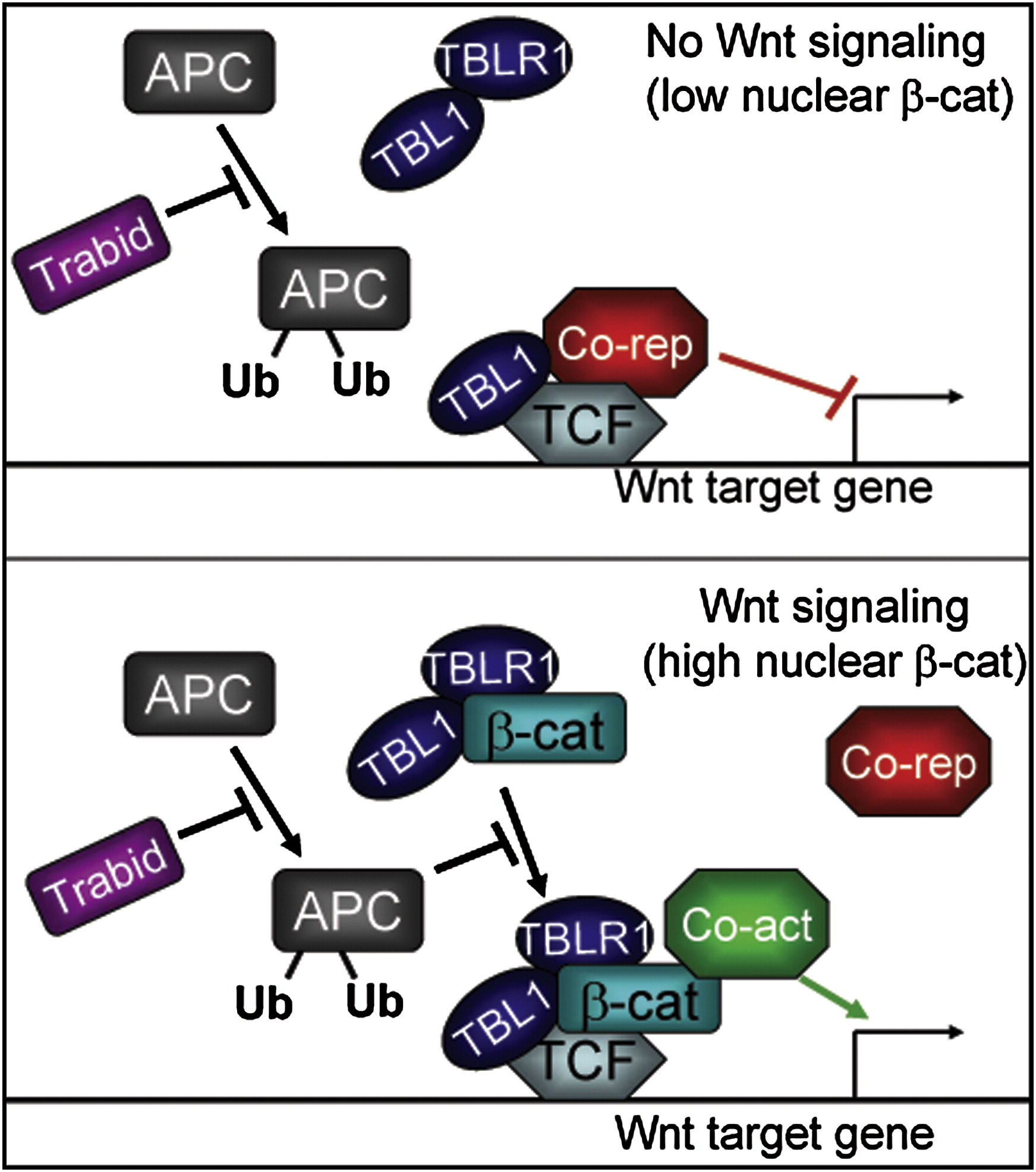 role-of-tbl1-tblr1-and-trabid-in-tcf-ceb2-catenin-gene-regulation