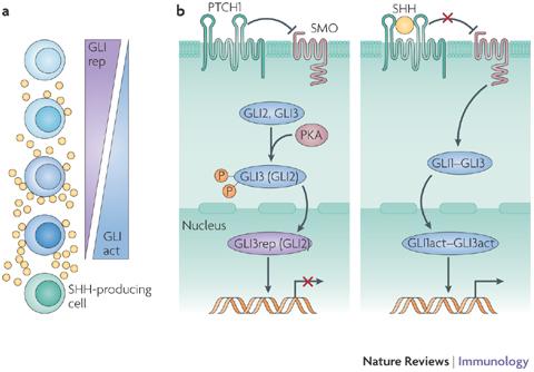 shh sonic hedgehog signaling pathway nri2151-f1