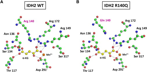 Structural Modeling of R140Q Mutant IDH2