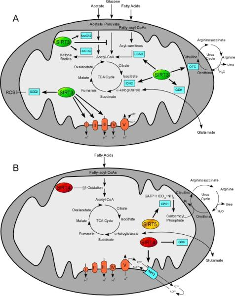 Summary of mitochondrial sirtuins' role in mitochondrial pathways