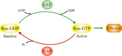 The Ras GTP.GDP cycle