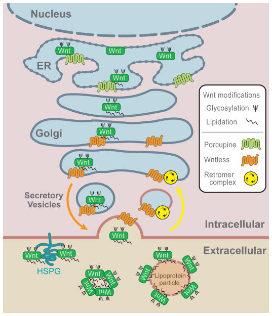 Wnt biogenesis and secretion nihms196288f2