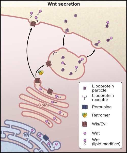 wnt-secretion