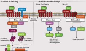 Wnt-Signaling cancer-promoting routes